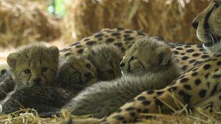 Four cheetah cubs make their first appearance in Austrian zoo