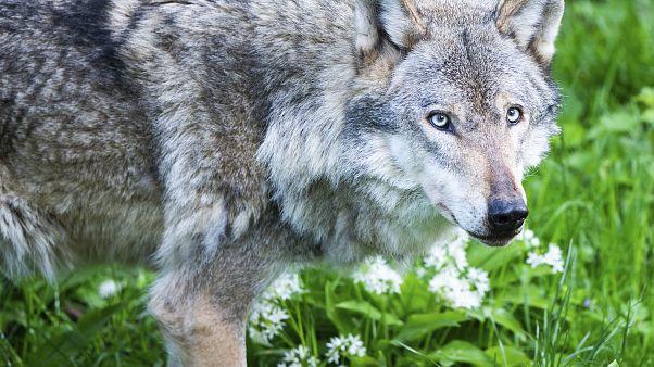 Archivbild: Wolf in den Niederlanden