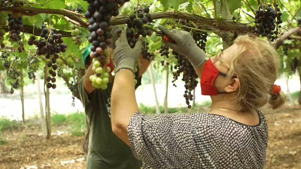 Egy projekt segítségével a mezőgazdaságban dolgozó olasz nők is teljes jogú munkavállalók