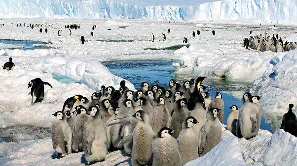 گلّهای از پنگوئنهای امپراتور