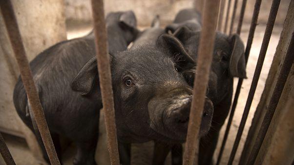 شیوع تب خوکی آفریقایی در هند