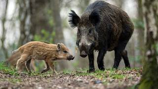 Wild boar are often spotted in Berlin's surrounding forests.