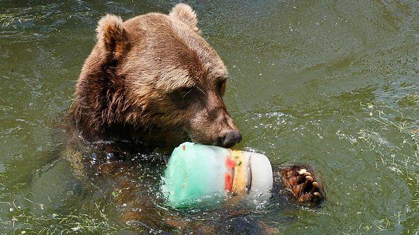 خرس گریزلی باغ وحش اوکلاهاما در آب با طعمهٔ یخزده بازی میکند