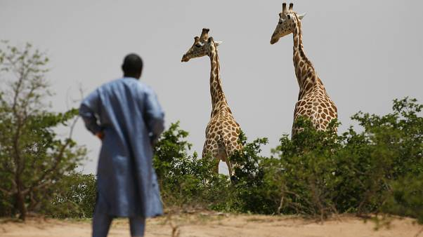 Nijer'deki Batı Afrika zürafaları, 1 Ağustos 2009