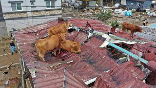 الأبقار وقد علقت على سطح منزل في البلدة