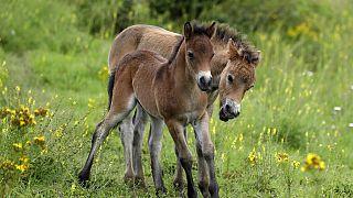 Wild horses roam across a meadow at a wildlife sanctuary in Milovice, Czech Republic,  July 17, 2020