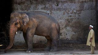 Pakistan'ın başkenti İslamabad'daki Marghazar Hayvanat Bahçesi'nde bulunan Kaavan isimli fil
