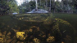 تمساح في المحمية الوطنية في فلوريدا
