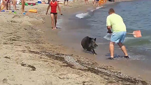 Wildschwein am Strand