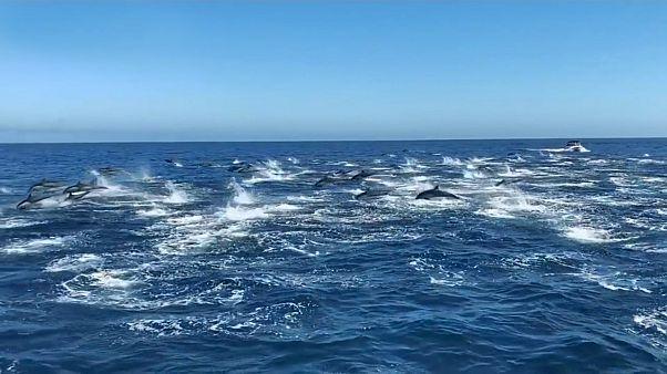 شاهد: مئات الدلافين تسبح قبالة الشواطئ الكاليفورنية