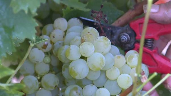 White muscat being harvested in Espira-de-l'Agly, France
