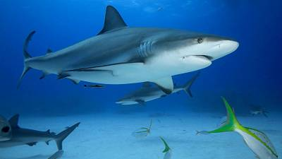 A grey reef shark hanging out with its friends.