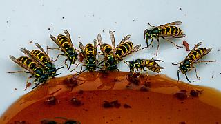 Wasps have been proliferating after a mild winter in France