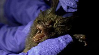 A researcher measures a bat inside a cave at Sai Yok National Park in Kanchanaburi province, west of Bangkok, Thailand, Friday, July 31, 2020