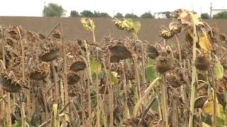 Καλλιέργειες ηλίανθων που έχουν ξεραθεί στο μεγαλύτερο τμήμα