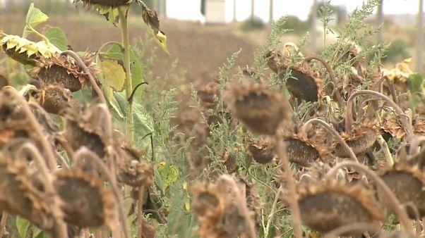 Millionen Hektar vertrockneter Sonnenblumen in Rumänien
