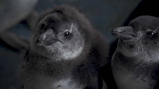Oil Spills Threaten Endangered South African Penguins