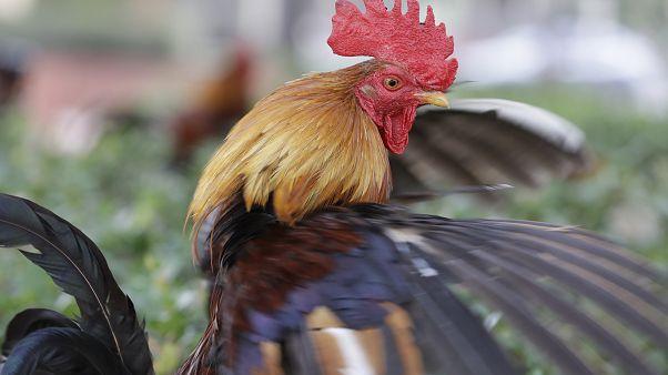 Egy Ybor City fajtájú kakas a floridai Tampában