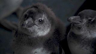 Veszélyben a pápaszemes pingvinek Dél-Afrikában