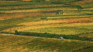 Archivo. Campos de uva de champán cerca de Reims, Francia
