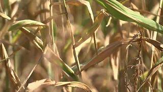 Landwirtschaft leidet unter Trockenheit