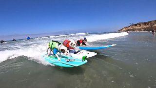 Sörfçü köpekler yarışması bu yıl Covid-19 nedeniyle online olarak düzenleniyor
