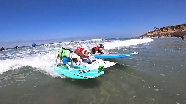 Three dogs surfing