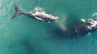 Baleias ao largo da Argentina
