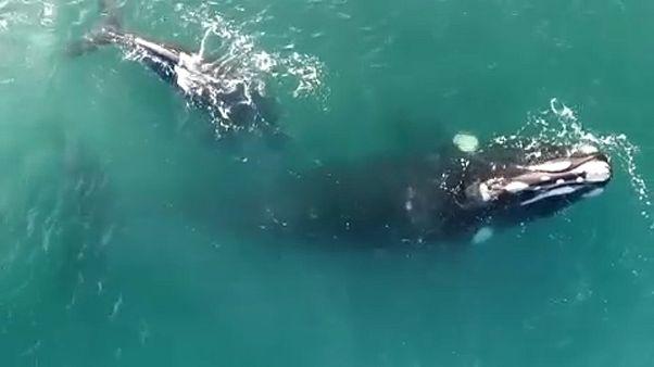 Wale vor der Küste Argentiniens