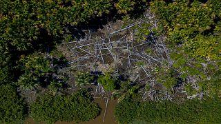 Amazon ormanlarında ağaç kesimi