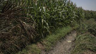 أرض زراعية في بني سويف في مصر تعاني الجفاف. 2020/08/04
