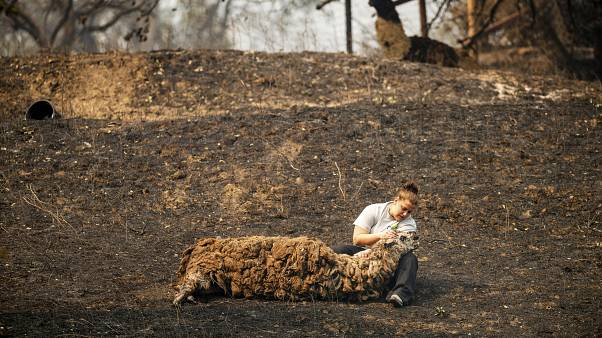طبيبة بيطرية تحاول مساعدة لاما تأذت بسبب الحرائق الضخمة