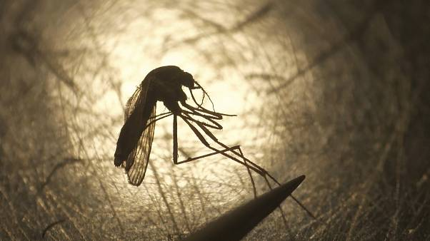 Das West-Nil-Fieber wird von Stechmücken übertragen