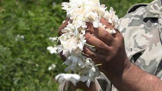 مصر والهند هما المنتجان الرئيسيان لنحو 95% من عجينة الياسمين العطرية في العالم.