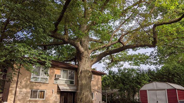 شجرة السنديان