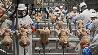 Birleşik Krallık'ta 3 yıl içinde 61 milyonu aşkın tavuk insan tüketimine uygun bulunmadı.