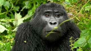 Uganda: Endangered Gorillas Impacted by Covid