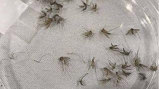 شركة فرنسية ستقوم بتربية البعوض على نطاق واسع لدراسة الأمراض المعدية