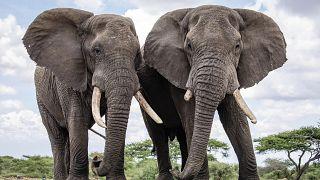 فيلان يتنزهان على حدود منتزه كينيا البيئي.