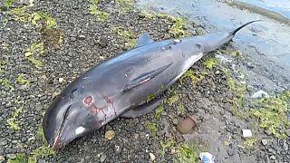 Ile Maurice: Dix-huit dauphins morts échoués sur la côte Est