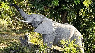 دو زنجیر فیل