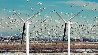 يمكن إنقاذ آلاف الطيور المقتولة بسبب مزارع الرياح بحل بسيط يتضمن طلاء إحدى شفرات التوربينات باللون الأسود