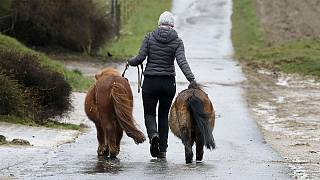 A woman takes two small Shetland ponies to their paddock at a stud farm in Wehrheim near in Frankfurt, Germany
