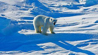 Aufnahme eines Eisbären in Alaska