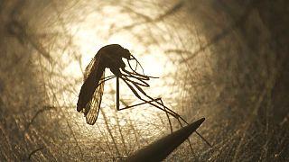 Una zanzara al microscopio