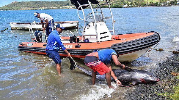 Mauritius'ta ölü balıklar