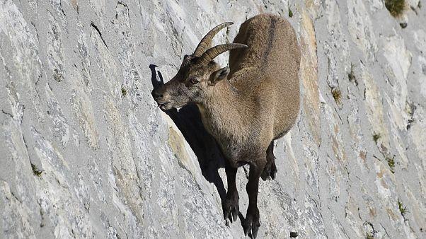 Alp dağ keçisi