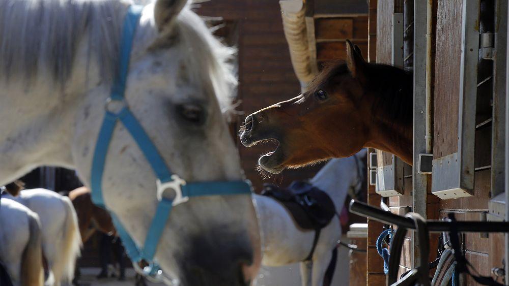 Fransa atları esrarengiz ritüelle öldüren çeteyi arıyor: Kulaklarını kesip kanını boşaltıyorlar