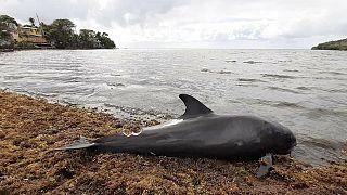 Mauritius Adası'nda binlerce kişi, Japon petrol tankerinden gelen sızıntının yakınlarında bulunan en az 40 yunusun gizemli ölümüyle ilgili soruşturma talep etti.