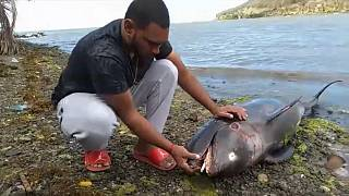 Dolphins Wash up on Mauritian Shores Post-Oil Spills